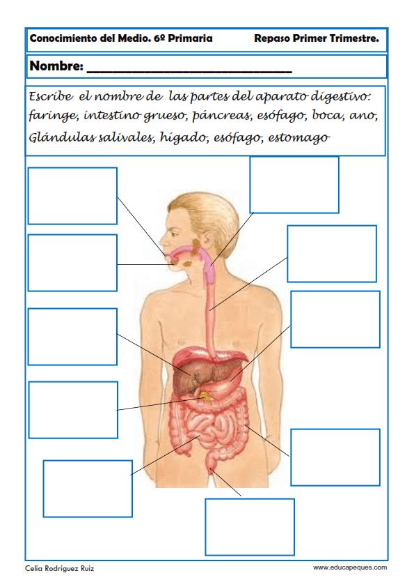 Perfecto Sistema Digestivo Interactivo Molde - Anatomía de Las ...