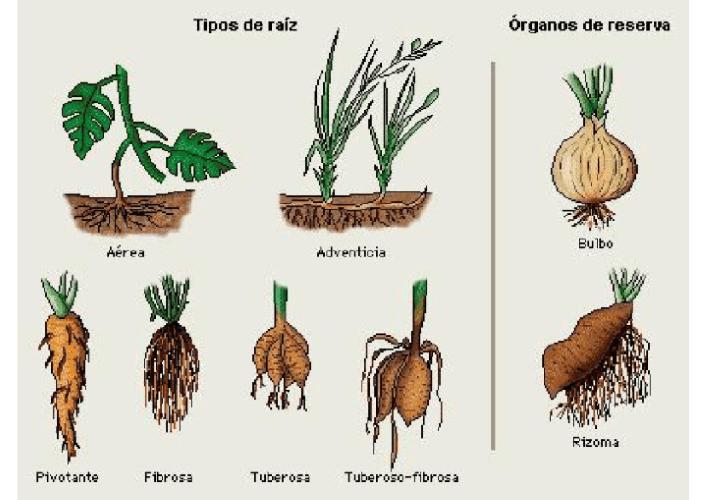 las racices de las plantas