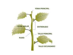 El tallo en las plantas