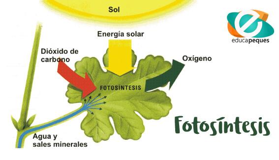 Resultado de imagen de la fotosintesis para niños de primaria