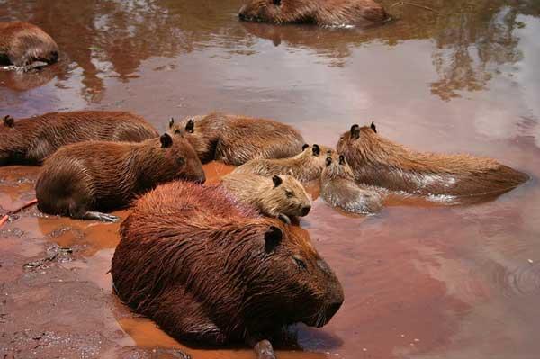 capibara curiosidades