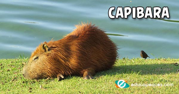 capibara, Carpincho