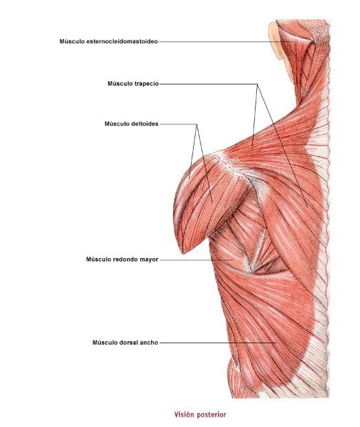 Músculos espalda trasero