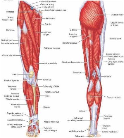músculos de las piernas, sistema muscular