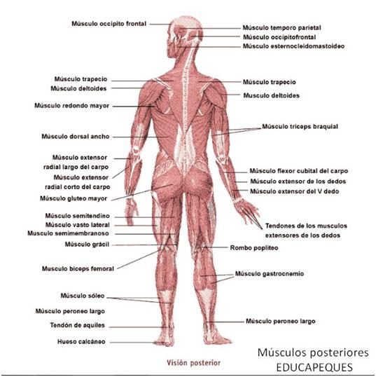 músculos posteriores
