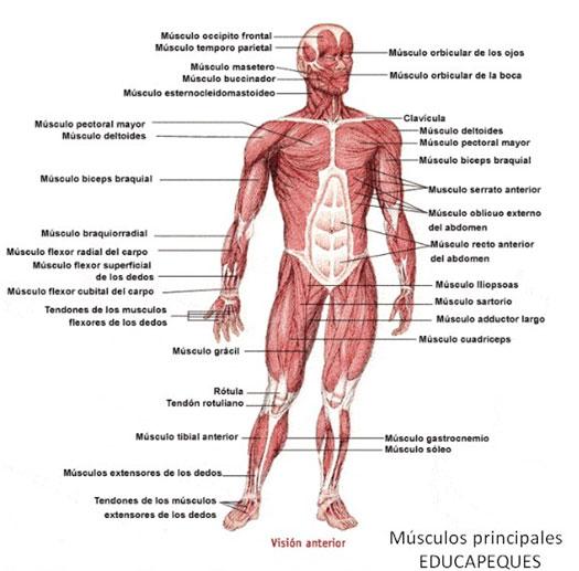 músculos principales