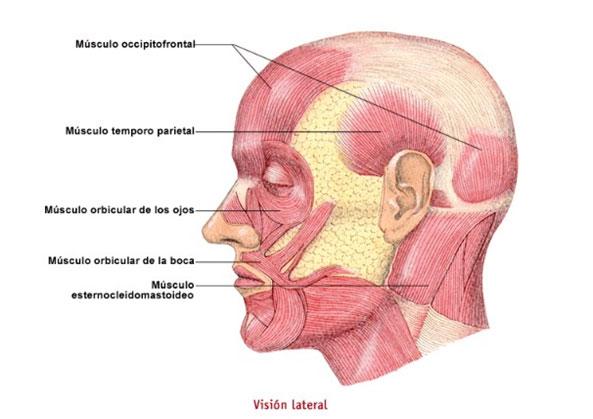 músculos cara lateral, sistema muscular