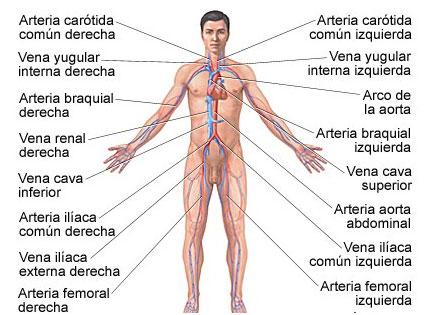 arterias y venas, sistema circulatorio