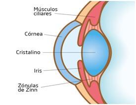 cornea y cristalino