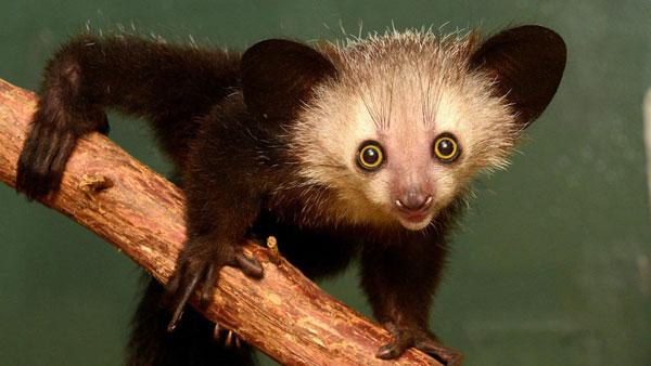 Aye-Aye, animales exóticos del mundo
