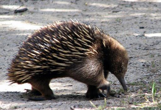 equidna, animales exóticos del mundo