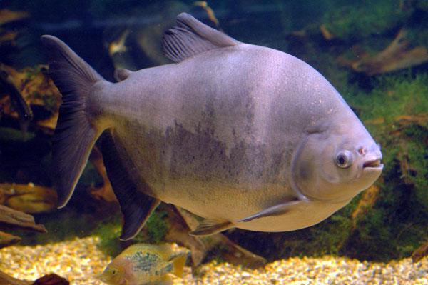 pez pacu