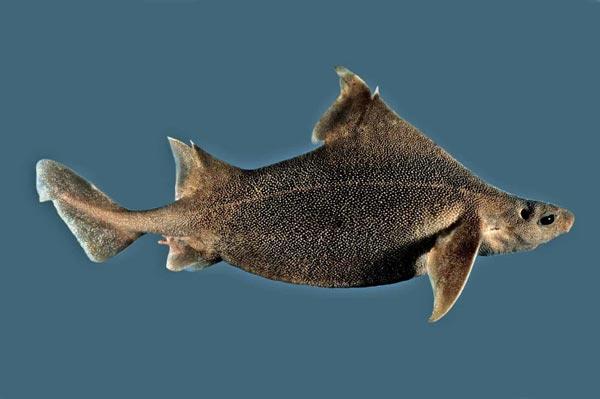 Cerdo marino espinoso