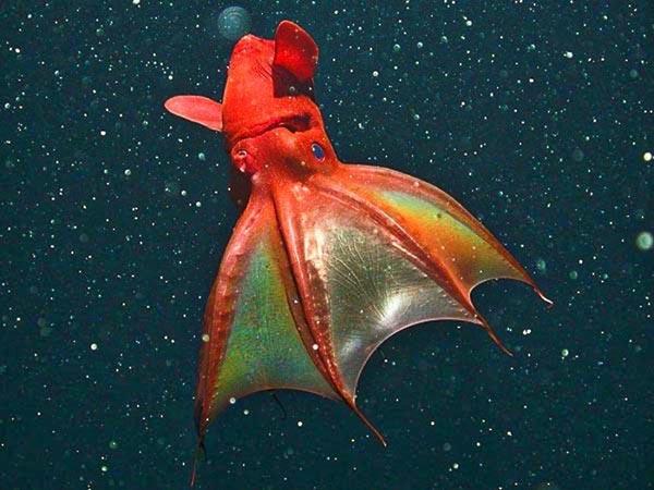 El calamar vampiro