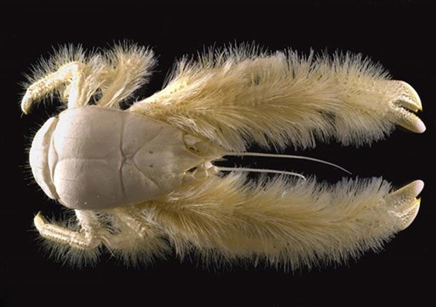 Animales marinos exóticos: El cangrejo yeti
